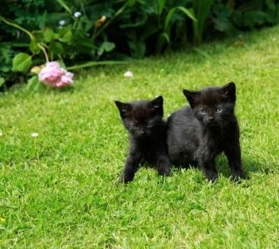 Чёрная кошка – удача в доме